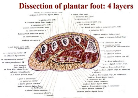 dissection of plantar foot