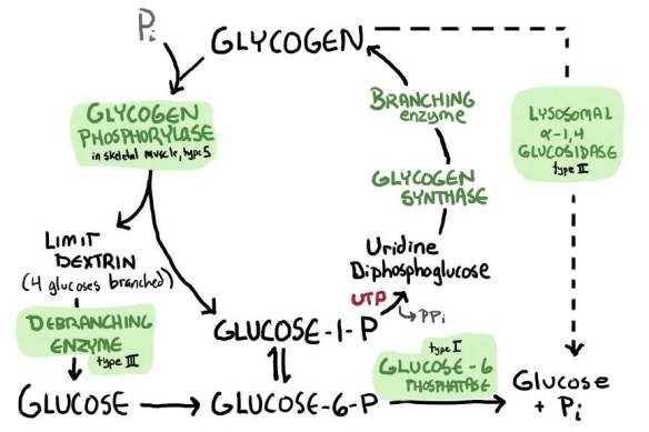 glycogenolysis and synthesis FULL