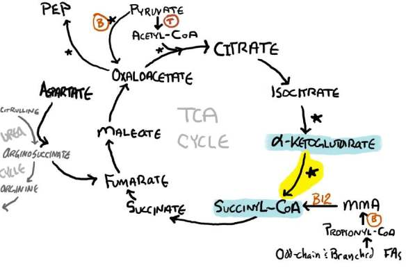 TCA Cycle alpha ketogultarate dehydrogenase